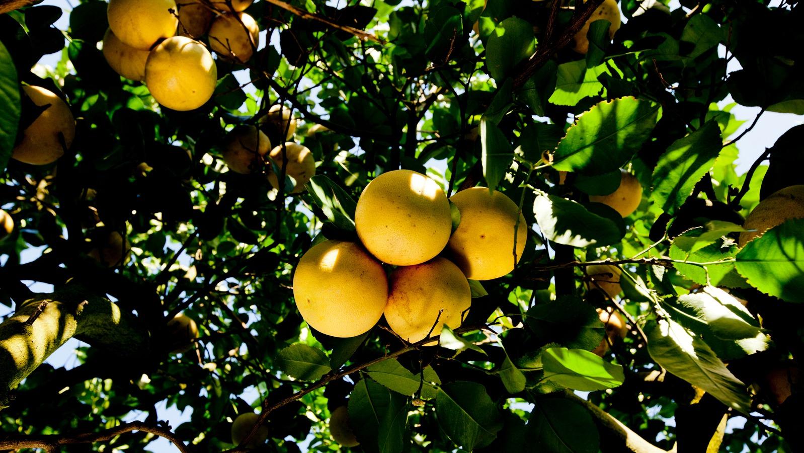 柑橘营养解决方案