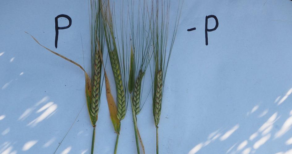 Vasemmanpuoleinen ohra on saanut kaikkia ravinteita tasapainoisesti. Oikeanpuoleinen ohran tähkä on jäänyt pieneksi, koska se ei ole saanut lainkaan lannoitefosforia. Pellon fosforiluokka oli huononlainen. Satoero on huomattavan suuri, vaikka muita ravinteita kasvit ovat saaneet yhtä paljon.