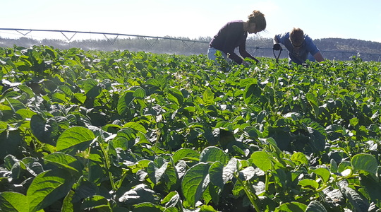 Agronomy Advice - Are your potatoes getting enough calcium?