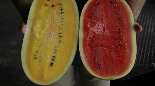 Influencing melon quality