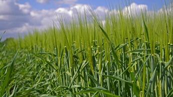 Barley Image 1