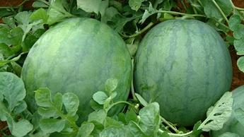 watermelon, melon