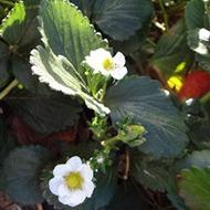 Strawberry Crop Nutrition Programme