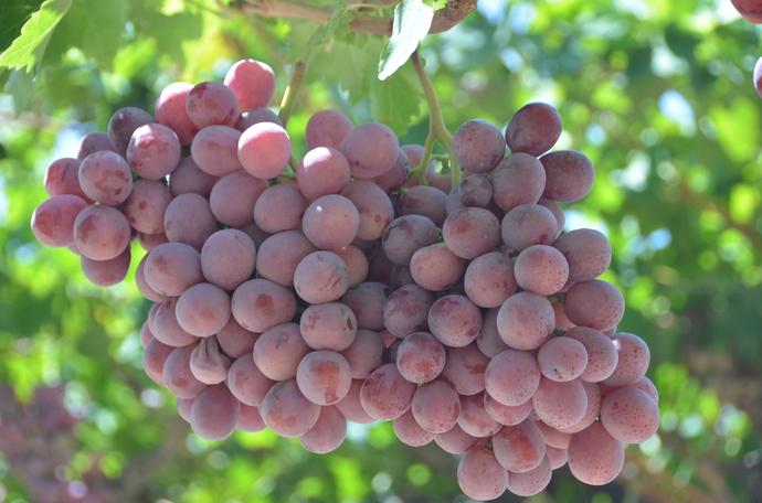 如何提高鲜食葡萄产量