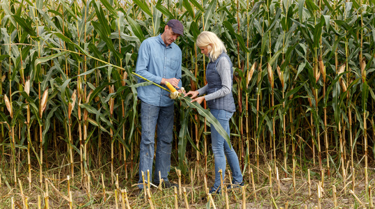 Forage maize needs zinc