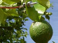 ZIM used for citrus tree