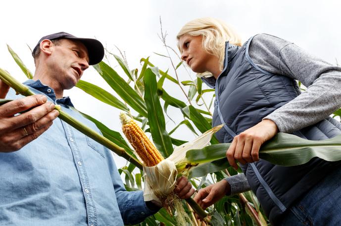 Cómo incrementar el rendimiento del maíz