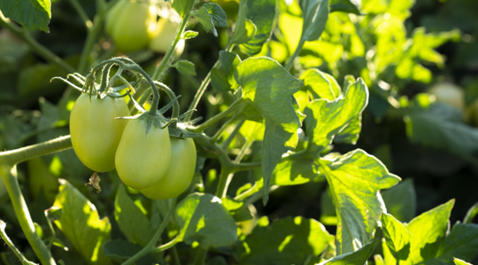 Tomato Crop Nutrition | Yara United States