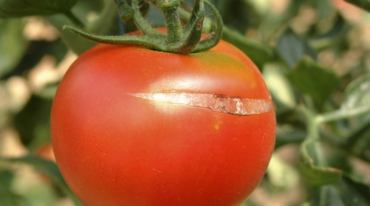 Influencing tomato cracking