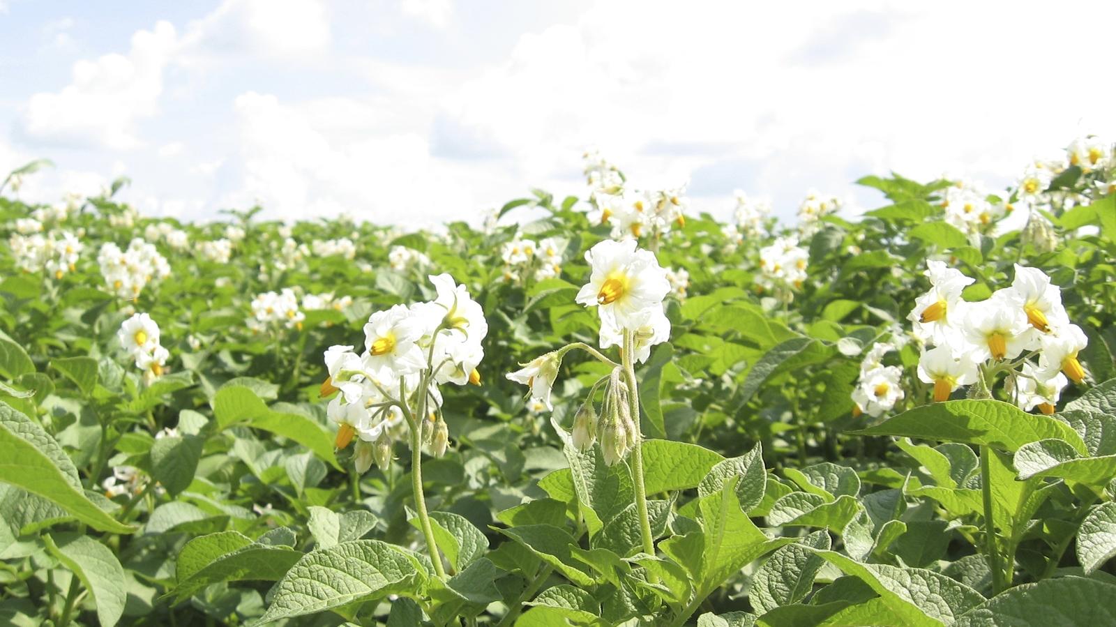 Gødningsforslag kartofler