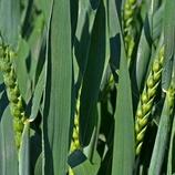 Høstemoden hvete