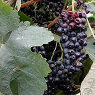 Reducing Botrytis in Table Grapes