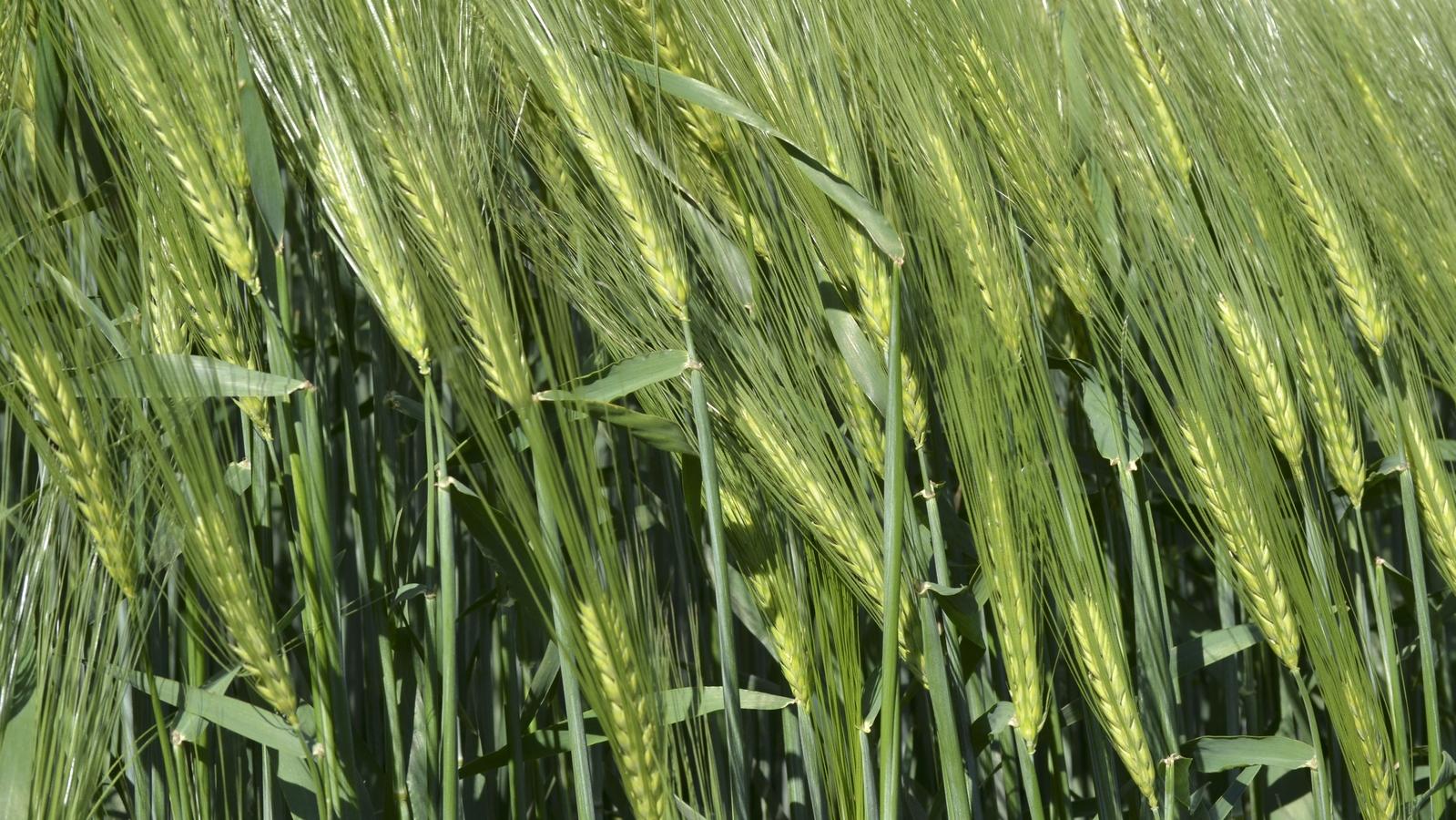 Barley crop nutrition programmes
