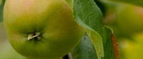 Apple - use of Yara Plant nutrients, micronutrients