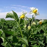 Минеральное питание картофеля
