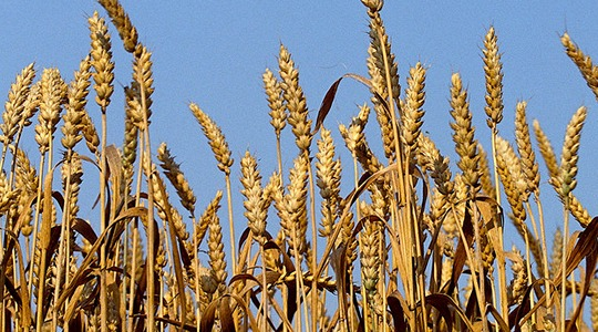 How to reduce wheat's carbon footprint