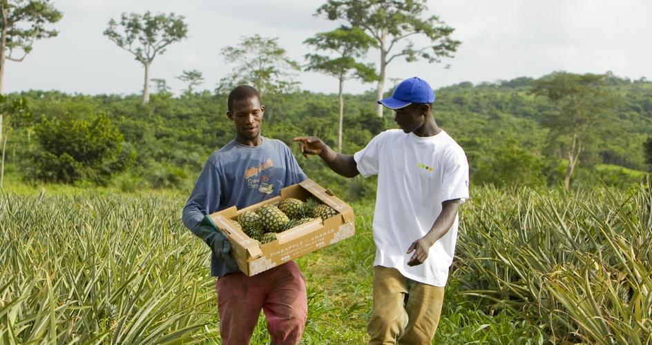 Pineapple harvest in Ghana