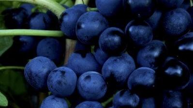 Wine grape crop nutrition