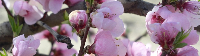 Peach blossom, Argentina