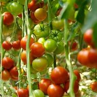 Програма живлення томатів