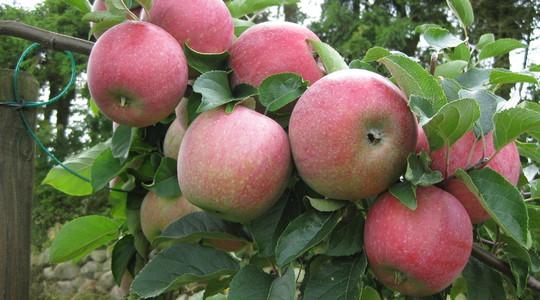 仁果类果树营养概述