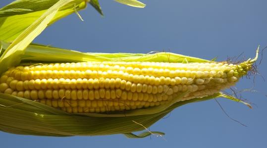 maize cob