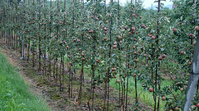 Apple Agronomic Principles | Soil & Water Requirements ...