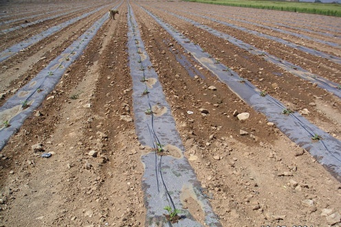 row spacing in melon crops