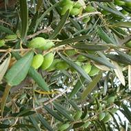 Αυξάνοντας την άνθιση και το ποσοστό καρπόδεσης των ελαιόδενδρων
