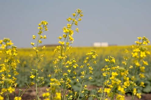 Western Canada Customer Ranks 2nd in National Canola Farming Competition