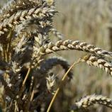 Düngekalender Weizen A/E