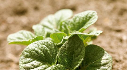 Ruolo dei nutrienti nei diversi stadi di crescita della patata