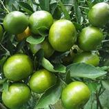 Buena producción de mandarinas