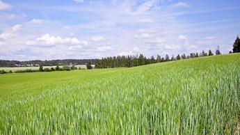 Barley Image 2
