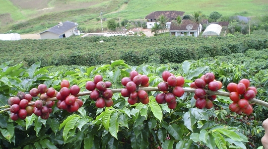 Influír en la fitosanidad del café