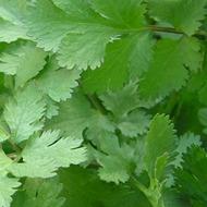 Coriander Crop Nutrition