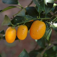 Citrus Fruit Number