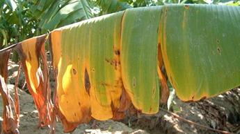 Yellow Sigatoka in Banana