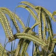 Rye Crop Programme