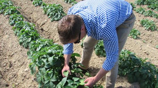 Forbedring af kvaliteten i kartofler