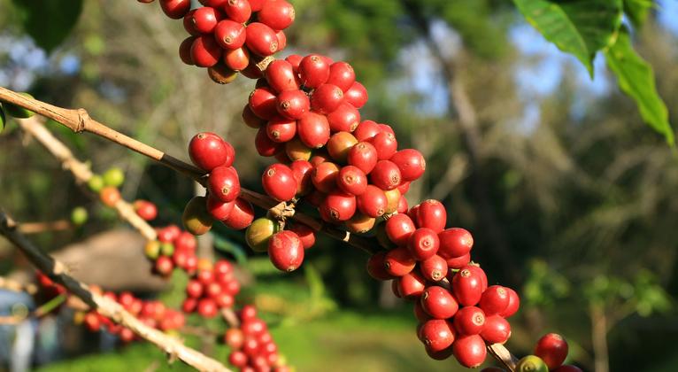 Melhorando a qualidade de bebida do Café