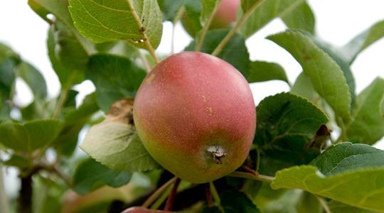 Principi agronomici per le pomacee