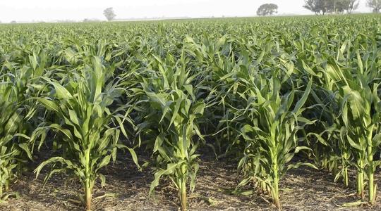 Aplicando fetilizantes en maíz