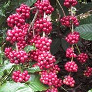 Reducir el impacto de enfermedades micóticas en café