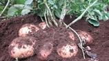 Reducing Potato Skin Diseases
