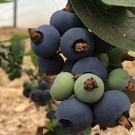 Blueberry Fertigation Programme