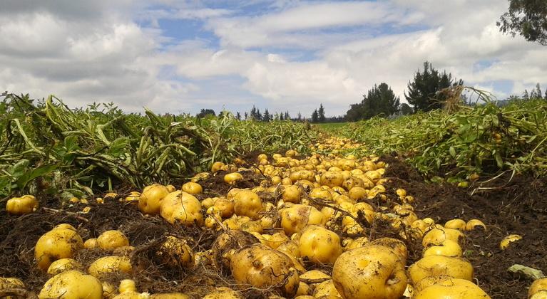Cultivo de papas en Colombia