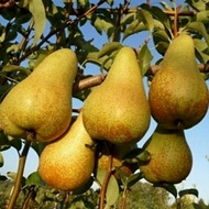 Minimizing Pome Fruit Internal Breakdown