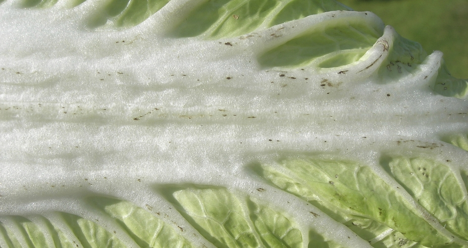 Black speck on Chinese Cabbage