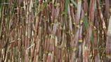 Influencing Sugarcane Juice Purity/Clarity